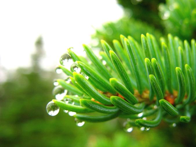 Pine final (2)